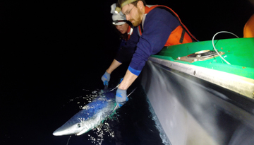 PIFSC shark tagging_Hutchinson