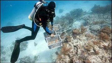 Coral restoration Florida Keys NMS
