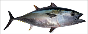 Pacific Bluefin Tuna illustration