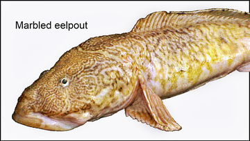 Marbled eelpout illustration