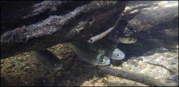 Salmon hiding