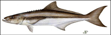 Cobia illustration DP