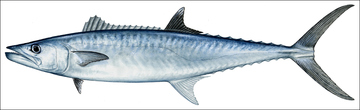 King Mackerel illustration DP