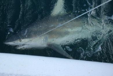 Shark Specs shark
