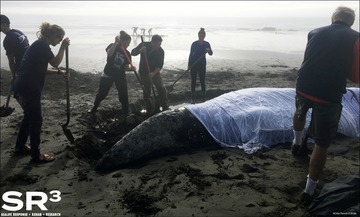 SR3 gray whale rescue