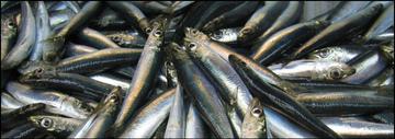 Round herring