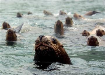 Stellers in water