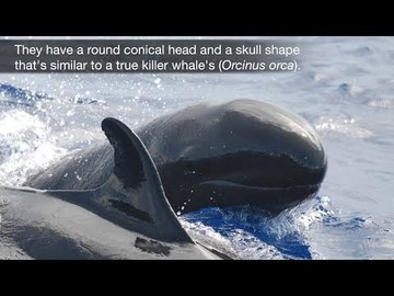 False Killer Whale video
