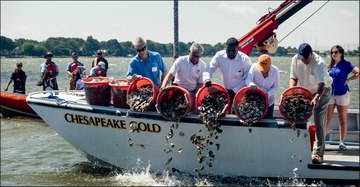 Oyster Restoration Chesapeake Bay