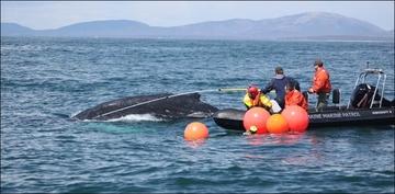Whale Disentanglement GARFO