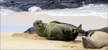 Monk Seal Runku