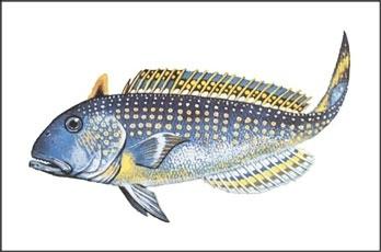 Golden Tilefish illustration border