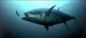 Bluefin tuna narrow