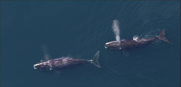Right Whales from Above