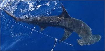 Atlantic HMS shark