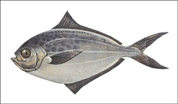 Butterfish illustration