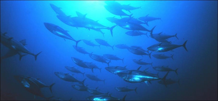 Bluefin Tuna school