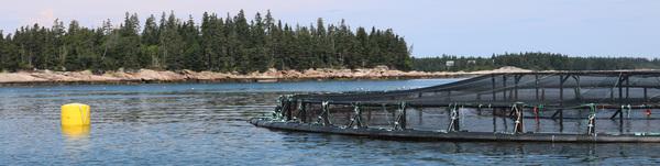 Atlantic salmon aquaculture farm.