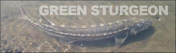 Green Sturgeon