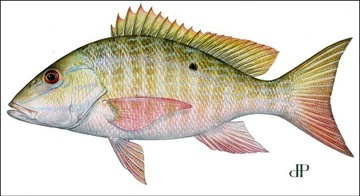 Mutton Snapper illustration