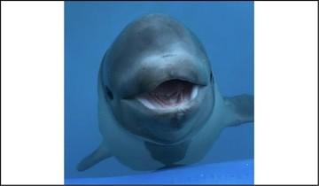 Beluga calf