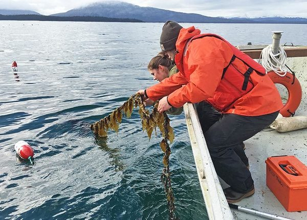 Scientists check a longline outplanting of sugar kelp at an experimental site near Coghlan Island, Alaska. Credit: Mike Stekoll, University of Alaska.