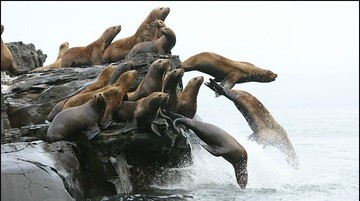 Sea Lions diving