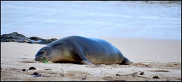 hooked monk seal
