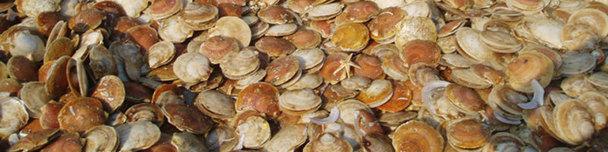 Atlantic sea scallops