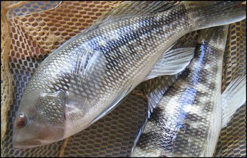 Black Sea Bass in net