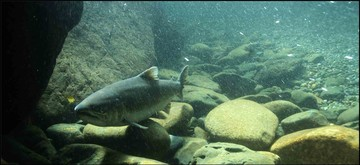 Chinook salmon proposed listing