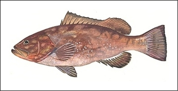 Red Grouper illustration