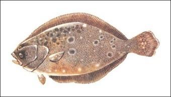 Summer Flounder illustration