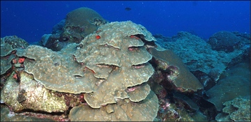 Gulf of Mexico coral habitat