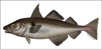 Haddock illustration
