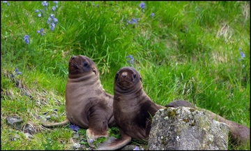 Steller Sea Lion pups border