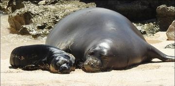 Now-deceased monk seal :(