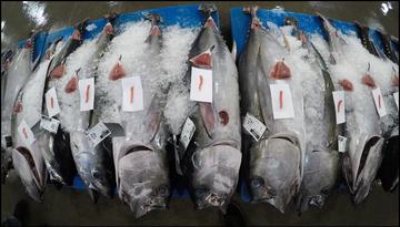 Bigeye Tuna on ice
