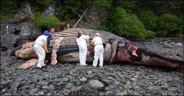 humpback necropsy
