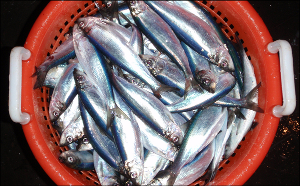 Atlantic herring in a basket
