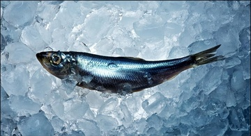 Atlantic Herring FAO
