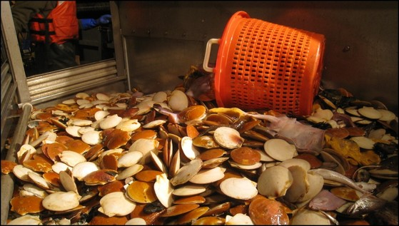 Sea scallops on table