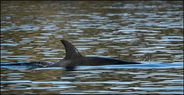 Orca J50