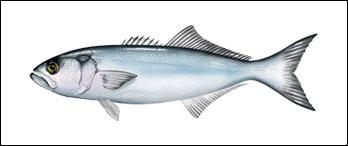 Bluefish illustration v4