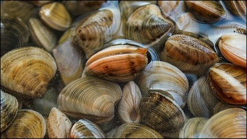 Atlantic surfclams
