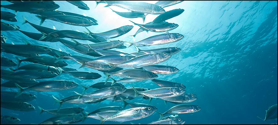 Atlantic mackerel school
