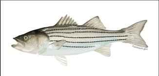 Atlantic striped bass illustration v2
