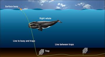 Whale entanglement diagram