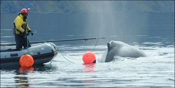 Freeing Whale near Dutch