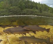 Atlantic salmon in Newfoundland. Credit Bill Bryden